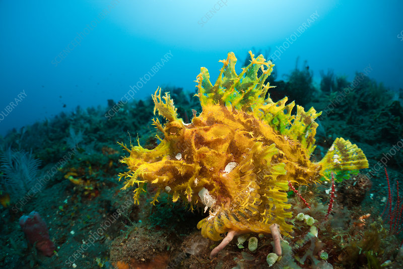Yellow Weedy Scorpionfish
