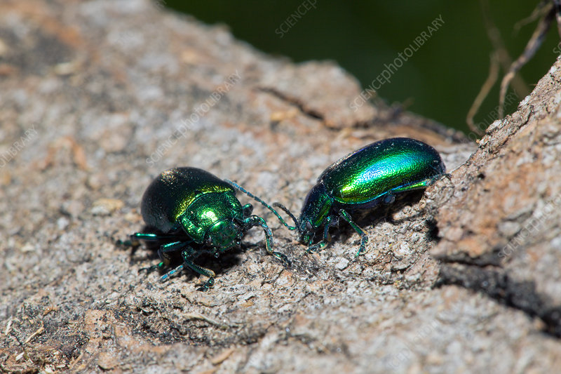 Two Leaf Beetles