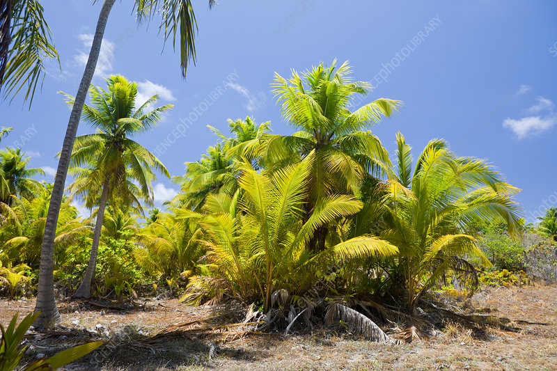 Coconut Palms at Bikini