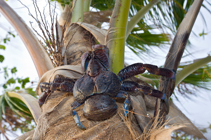 Coconut Crab, Robber Crab on Palmtree