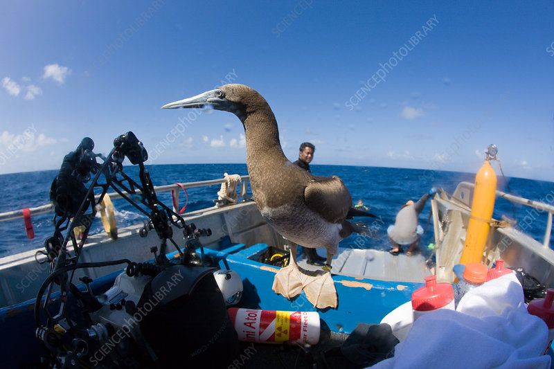 Young Brown Booby on Diving-Ship