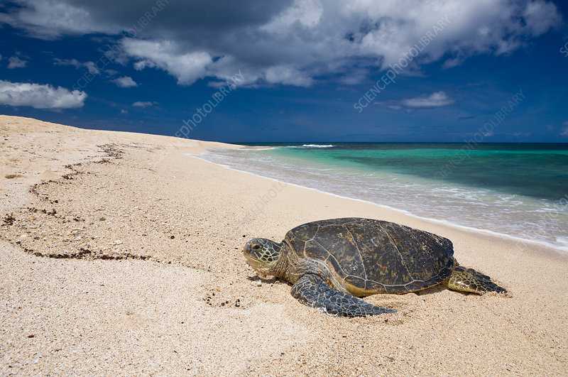Green Turtle at Haleiwa Beach Park