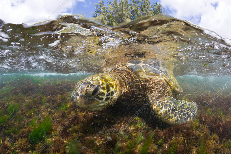 Green Turtle feeding Algas