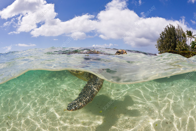 Green Turtle breathing at Water Surface