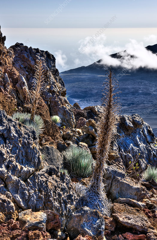 endemic Silversword at Haleakala Volcano Crater