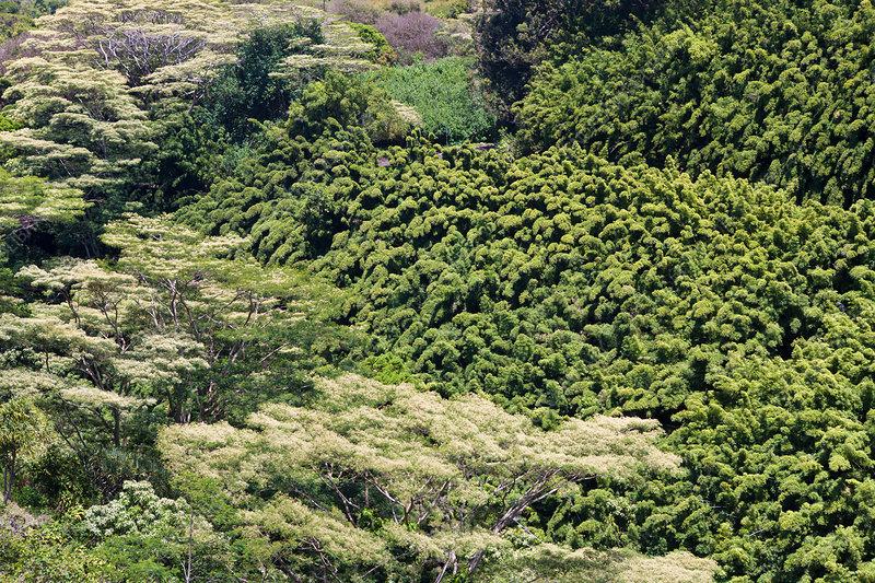 Bamboo Grove at Road to Hana