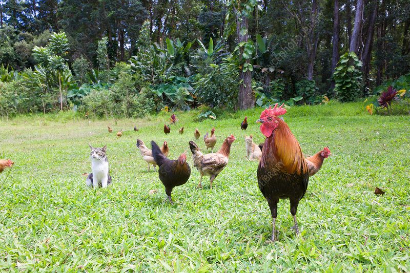 Wild Chickens at Wailua Valley State Wayside