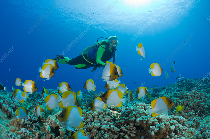 Pyramid Butterflyfish and Diver