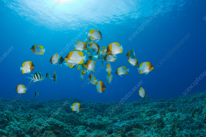 Shoal of Pyramid Butterflyfish