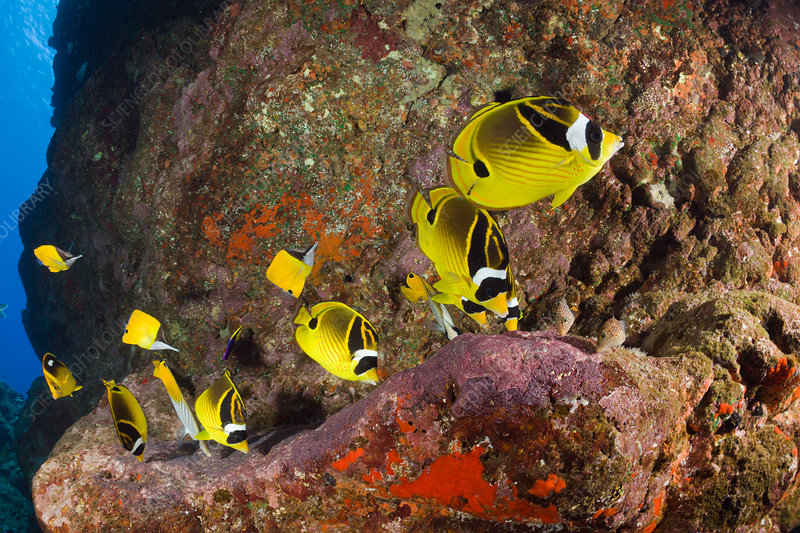 Racoon-Butterflyfish feeding Eggs from other Fish