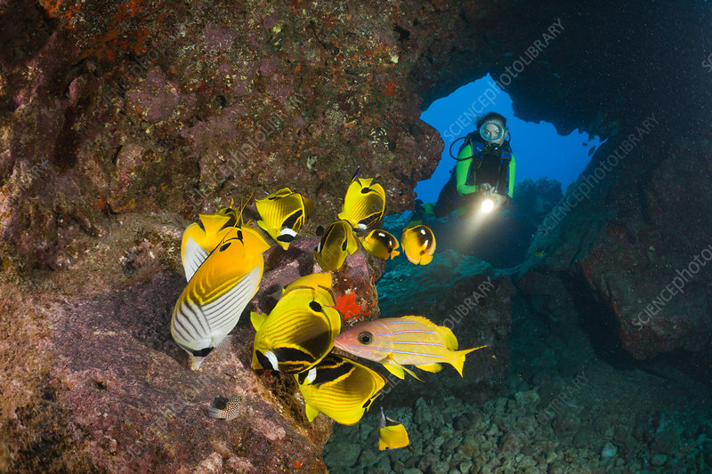 Diver observe Racoon-Butterflyfish feeding Eggs