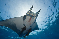 Sicklefin Mobula with Remora