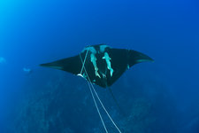 Sicklefin Mobula trapped by Rope