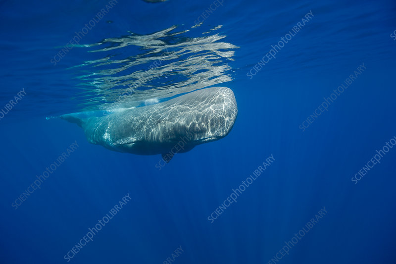 Young Sperm Whale
