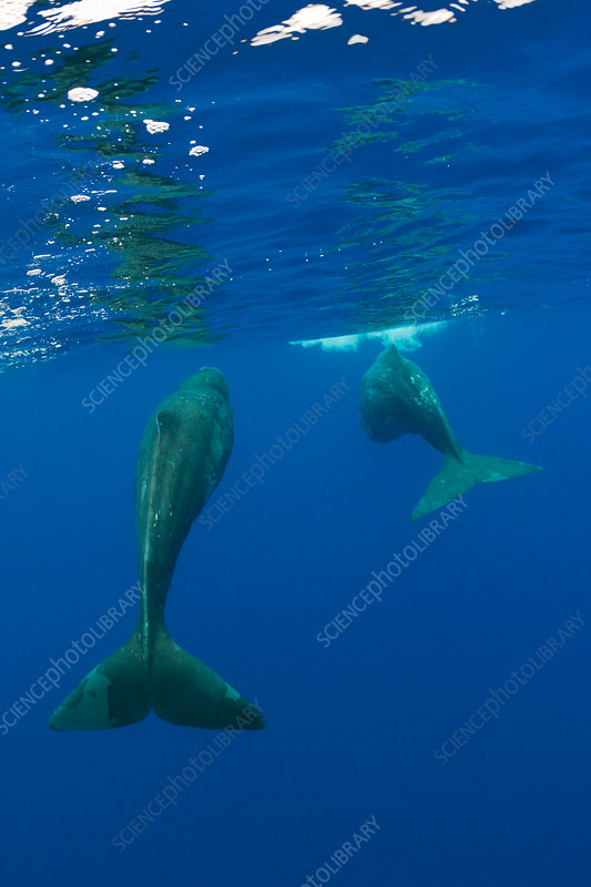 Sperm Whale Mother and Calf