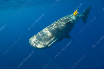 Sperm Whale plays with Plastic Waste