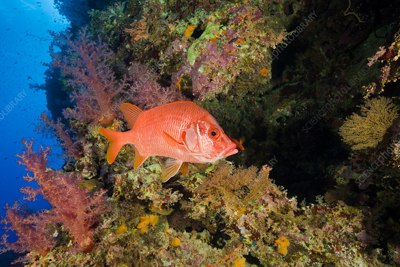 Longjawed Squirrelfish in Coral Reef