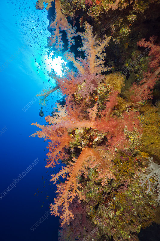 Soft Corals at Coral Reef