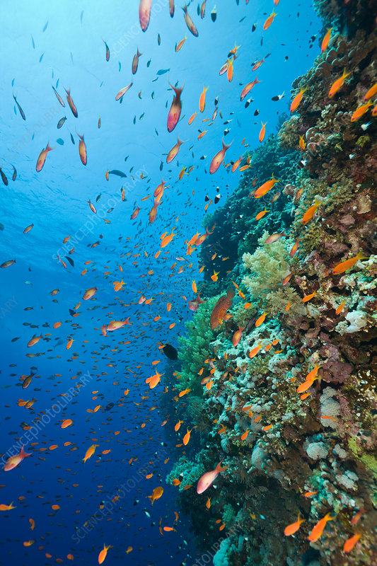 Anthias and Coral Reef