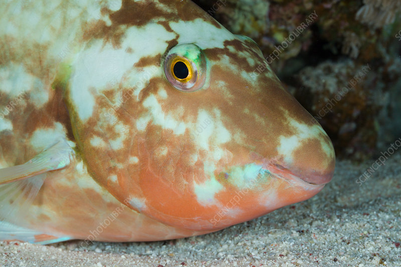 Parrotfish sleeps at Night