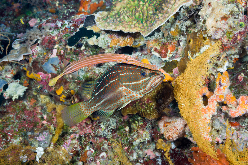Trumpetfish hiding behind White-lined Grouper