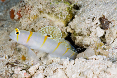 Symbiotic, Randalls Prawn-Goby and Pistol Shrimp