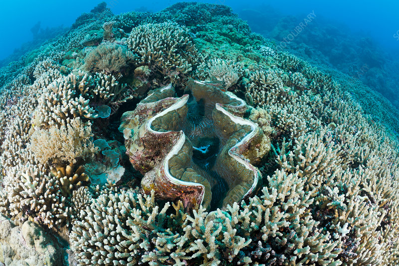 Giant Clam between Branching Corals
