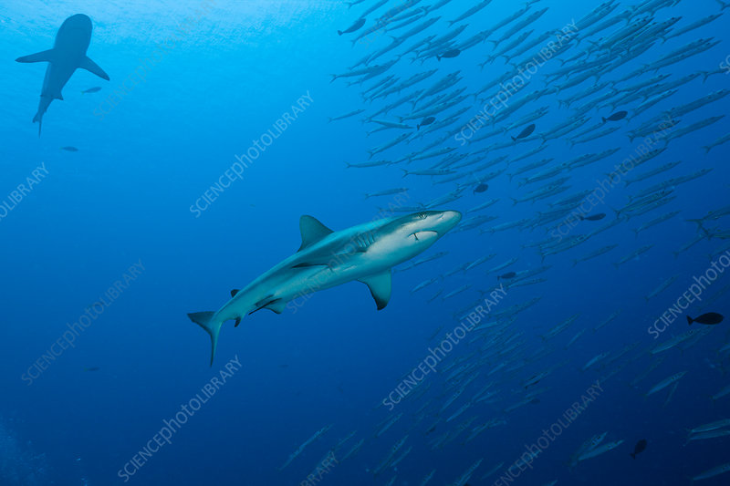Grey Reef Shark and Barracudas