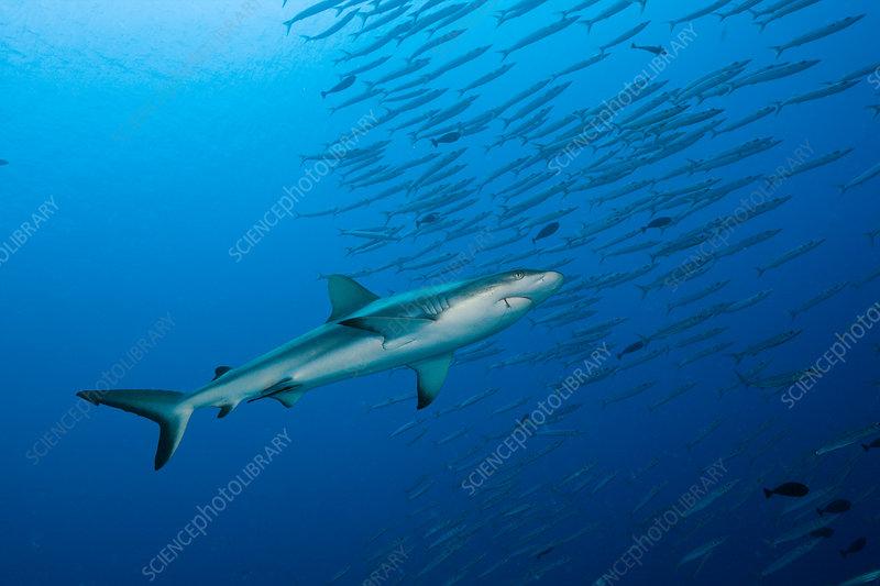 Grey Reef Shark and Barracudas
