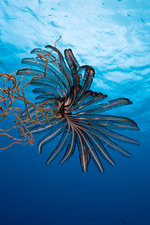 Crinoid sitting on Wire Coral