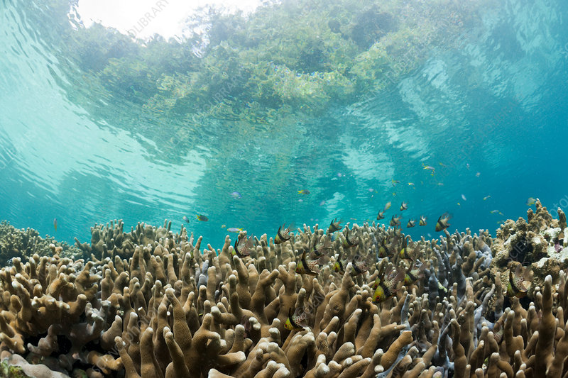 Corals in Risong Bay