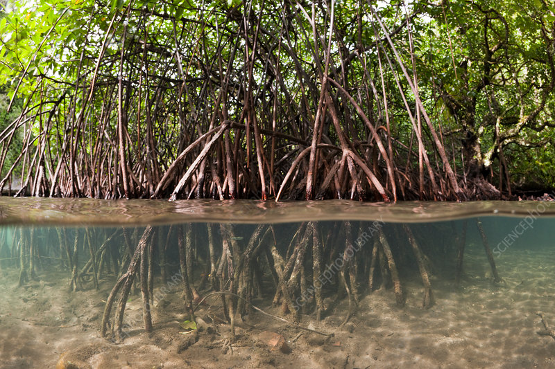 Risong Bay Mangroves