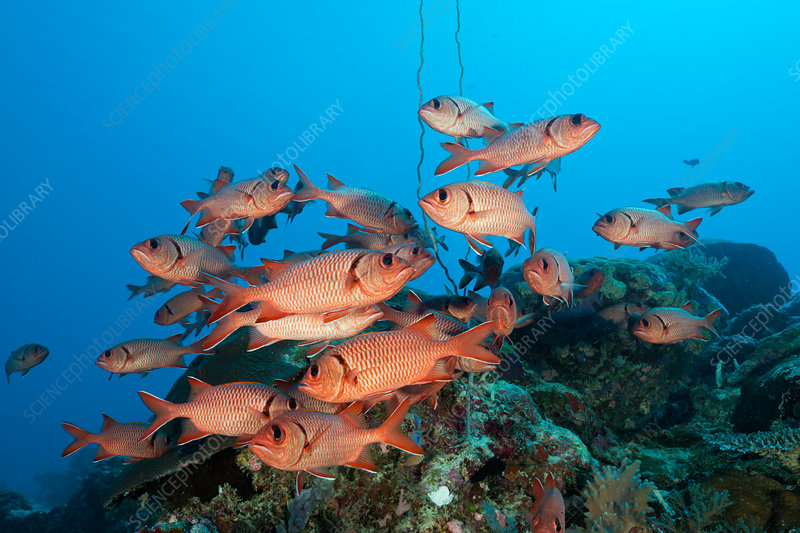 Shoal of Soldierfish