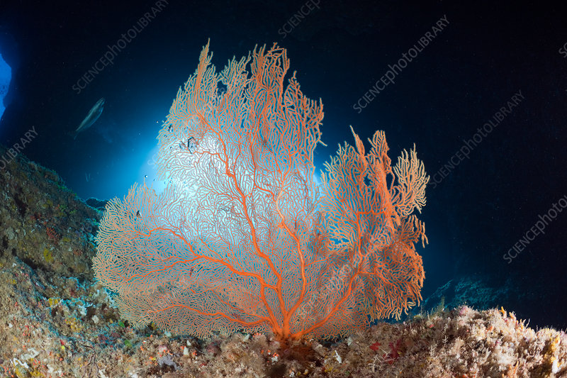 Sea Fan at Entrance of Blue Hole Cave
