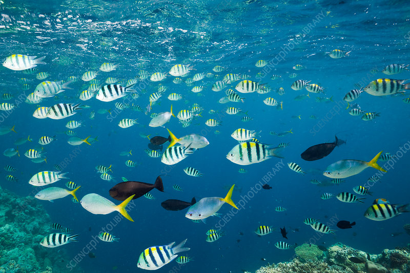 Shoal of Coral Fish