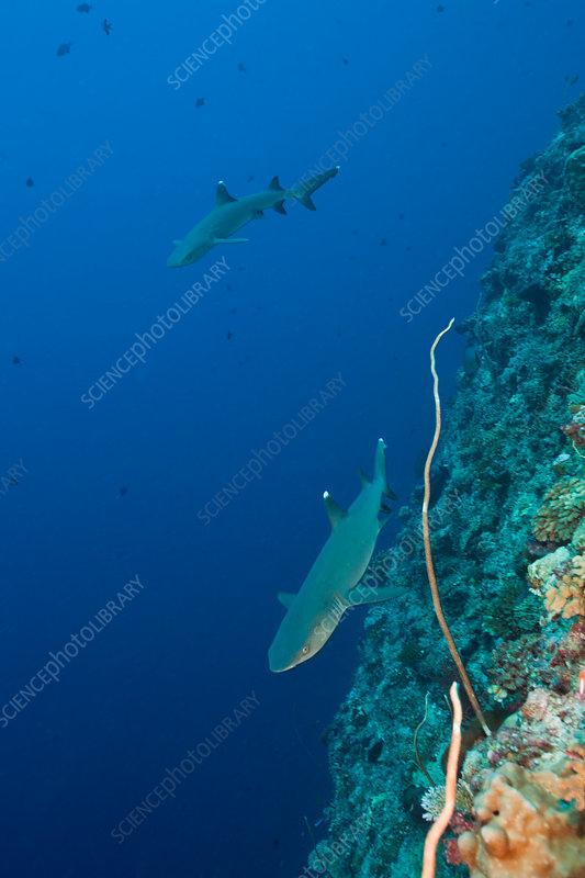 Whitetip Reef Sharks