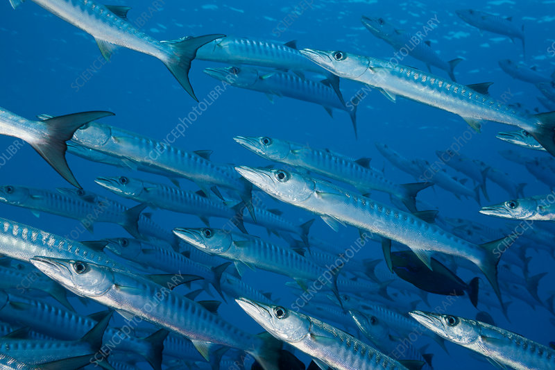 Group of Blackfin Barradudas