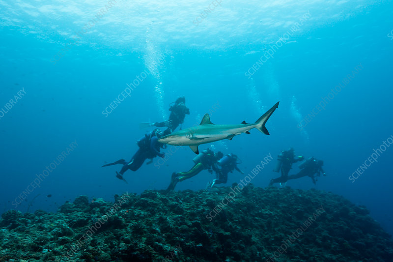 Diver observe Grey Reef Shark