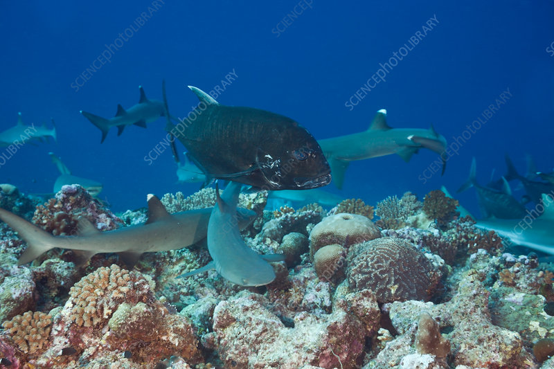 Sharks and Giant Trevally hunting together