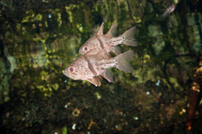 Orbiculated Cardinalfish