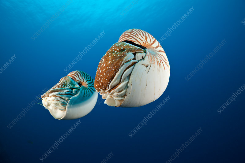 Pair Chambered Nautilus