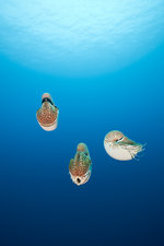 Group of Chambered Nautilus