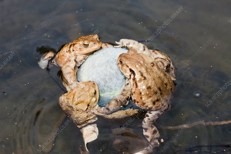 Toads cling to Tennis Ball in Mating Season