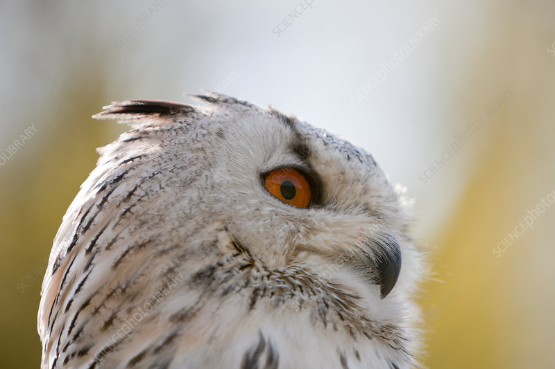 Eagle-Owl Head