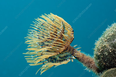 Small Spiral Tube Worm