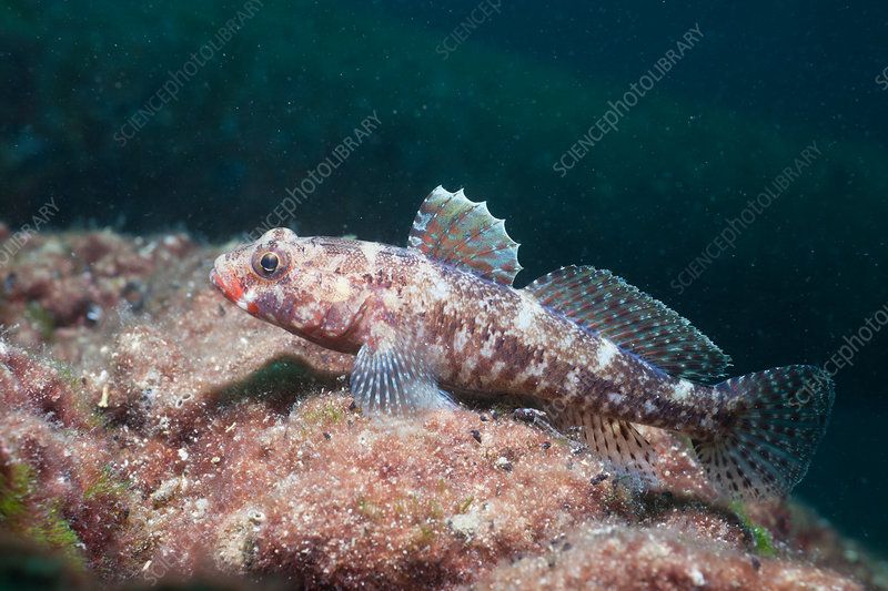 Red Lip Goby