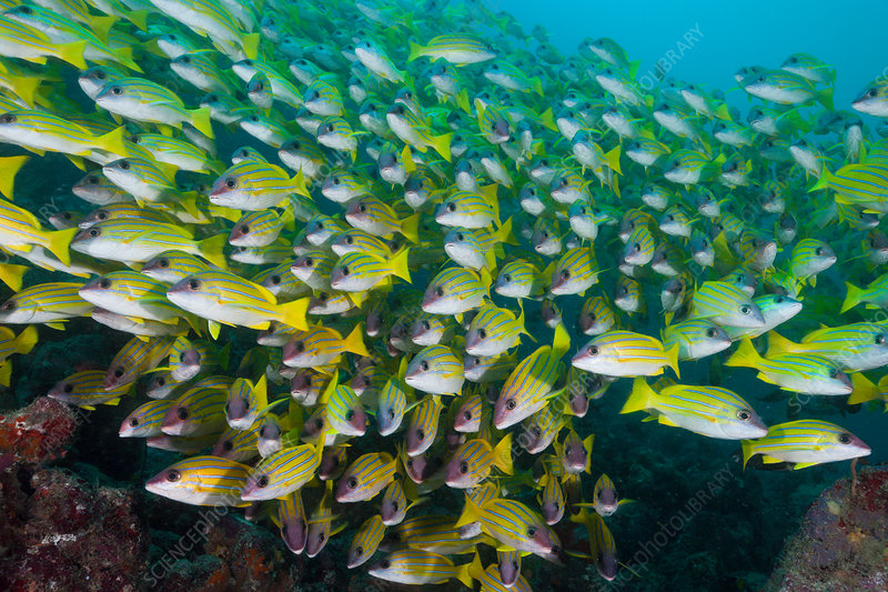 Shoal of Bluestripe Snapper