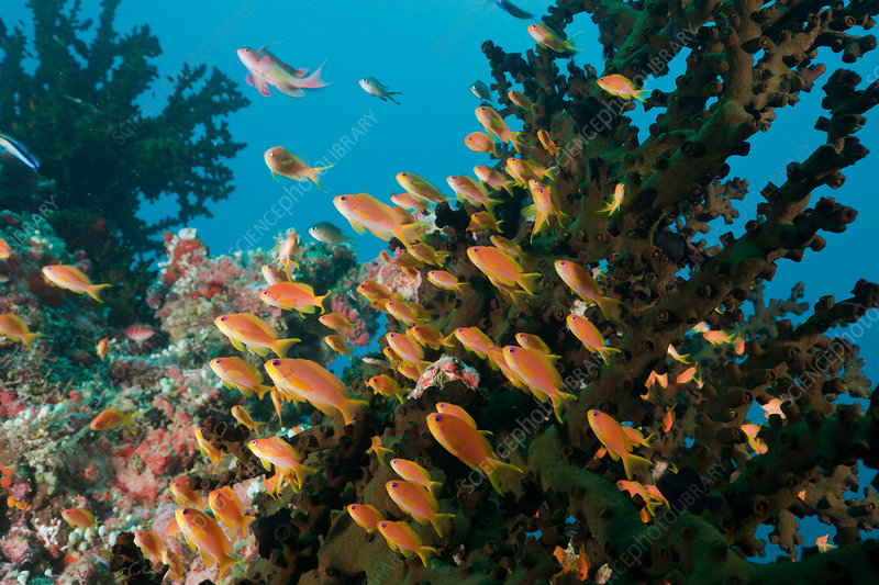 Coral Reef with Anthias