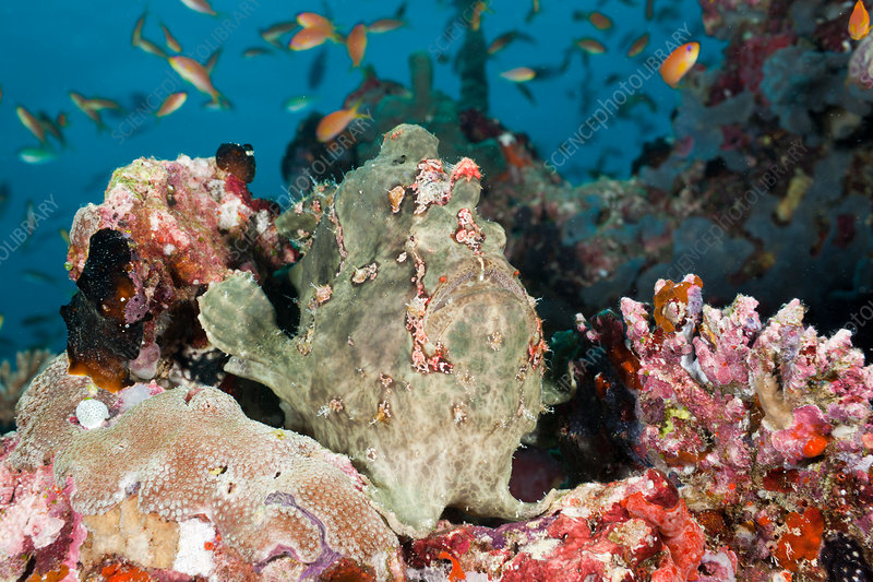 Green Giant Frogfish