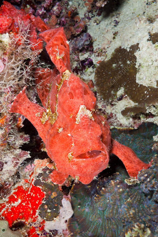 Red Spotted Frogfish
